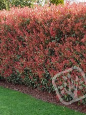 Photinia x fraseri  ´Red Robin´