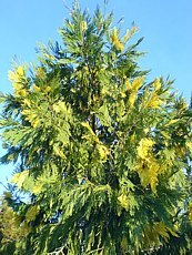 Calocedrus decurrens´Aureovariegata´