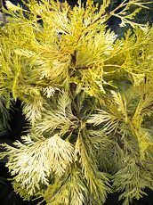 Calocedrus decurrens´Berrima Gold´