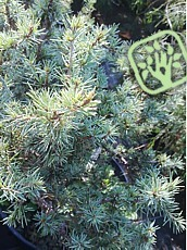 Cedrus deodara ´Blue Ball´
