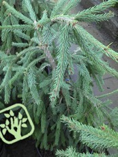 Picea abies ´Frohburg´