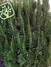 Cephalotaxus harringtonia´Fastigiata´