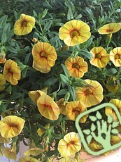 Calibrachoa hybrida ´Million bells Apricot Punch ´
