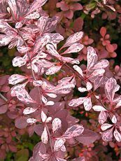 Berberis thunbergii ´Rose glow´