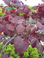 Cercis canadensis´Forest Pansy´