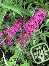 Buddleja davidii ´Royal Red´