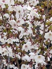 Prunus nipponica ´Brilliant´