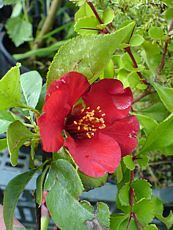 Chaenomeles x superba´Crimson and Gold´