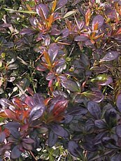 Berberis x media´Red Jewel´
