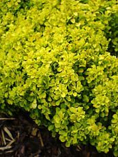 Berberis thunbergii ´Tiny Gold´