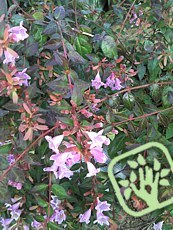 Abelia´Edward Goucher´
