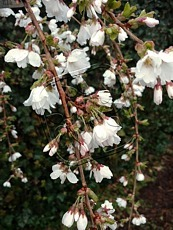 Prunus incisa ´Frilly Frock´