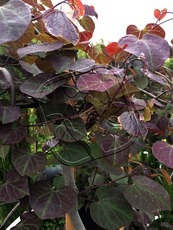 Cercis canadensis´Ruby Falls´