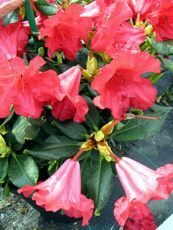 Rhododendron repens ´Scarlet Wonder´