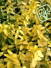 Euonymus fortunei ´Goldy´