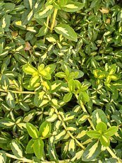 Euonymus fortunei 'Blondy Interbow'