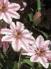 Clematis x hybrida  ´Nelly Moser´