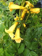 Campsis radicans ´Yellow trumpet´
