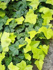 Hedera helix ´Buttercup´