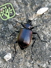 Calosoma inquisitor