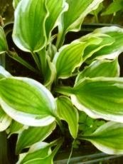Hosta ´Ground Master´