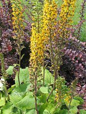 Ligularia stenocephala ´The Rocket´