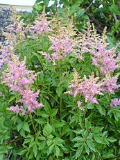 Astilbe japonica ´Rosea´