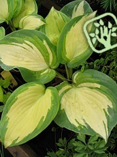 Hosta fortunei ´Gold Standard´