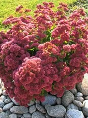 Sedum spectabile´Brilliant´