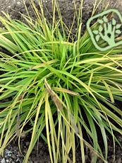 Carex oshimensis ´Everillo´