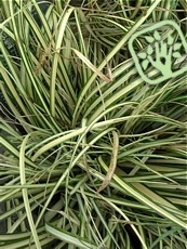 Carex oshimensis ´Evergold´