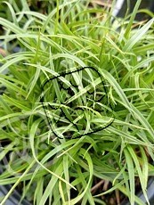 Carex caryophyllea´The Beatles´