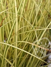 Carex brunnea ´Jenneke´