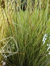 Carex brunnea ´Jubilo´