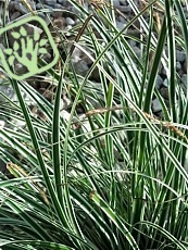 Carex oshimensis ´Everest´
