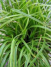 Carex hachijoensis´Gold Fountain´