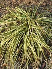 Carex hachijoensis´Ever Gold´